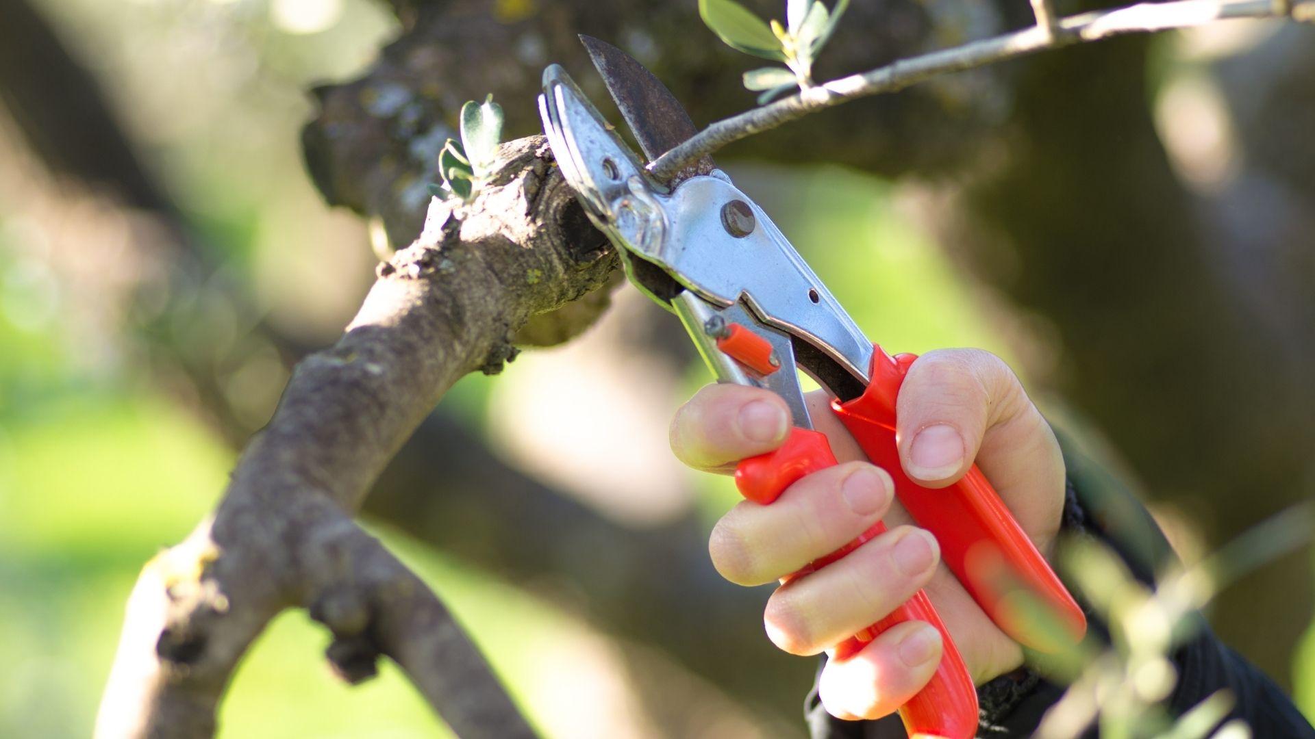 come potare un olivo per migliorare la produzione