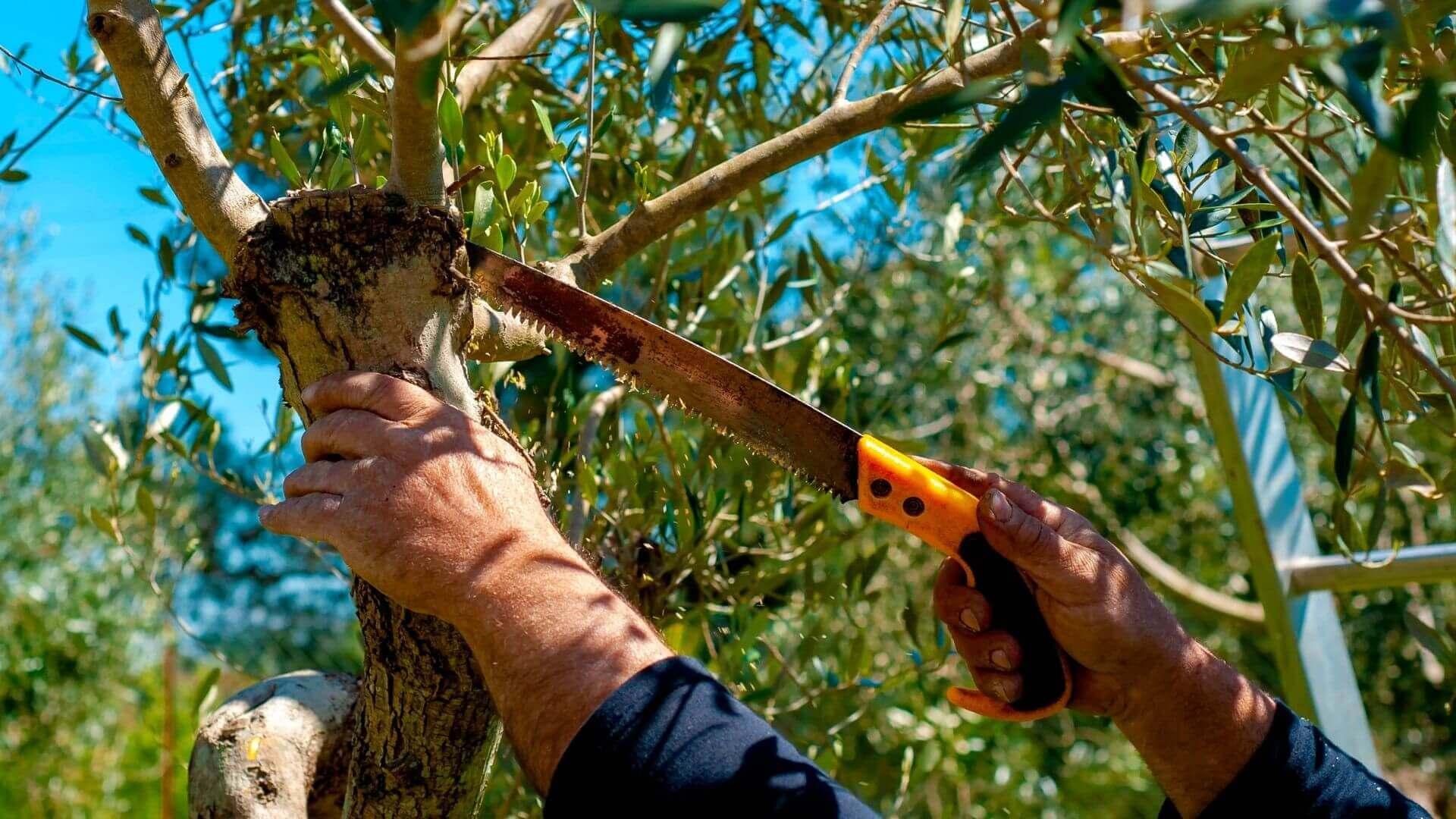 Come potare gli ulivi per ottenere più olive