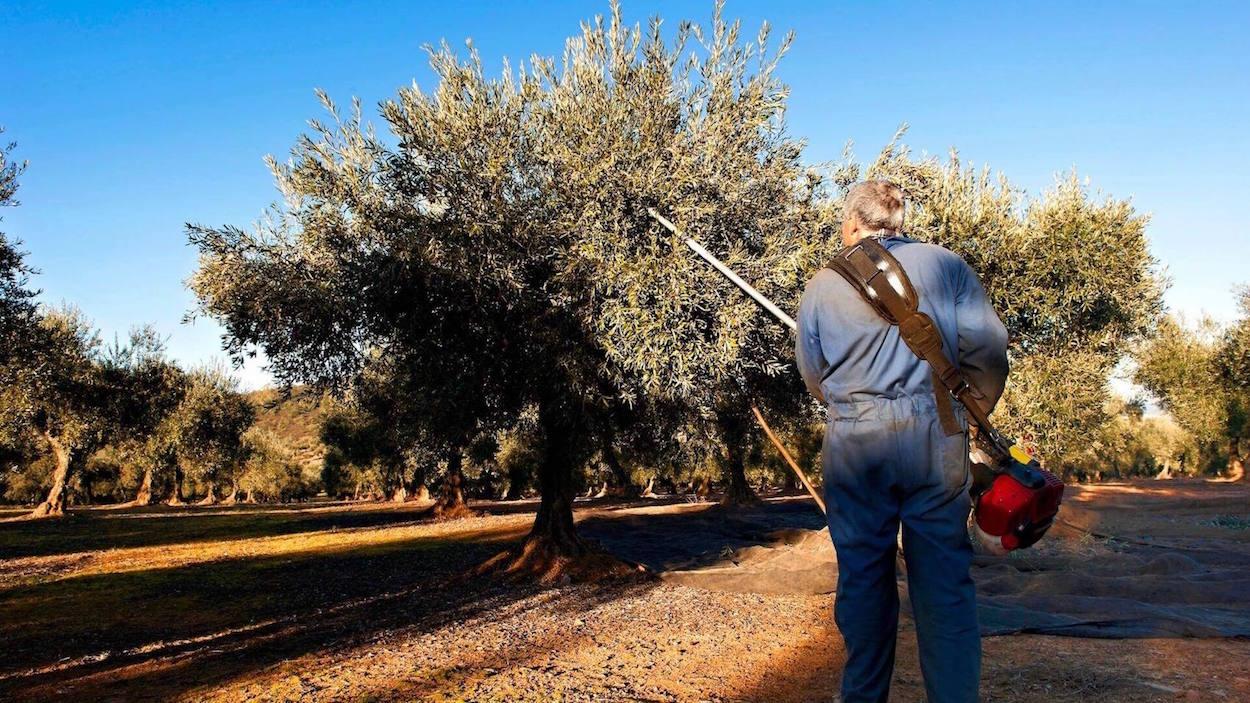 Come e quando potare gli ulivi: una guida